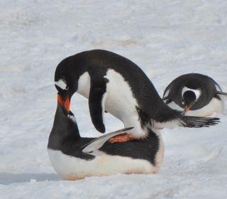 pinguini stupratori