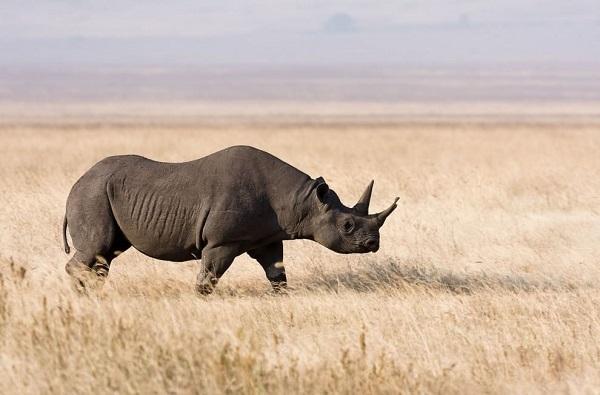 rinoceronte-nero-occidentale