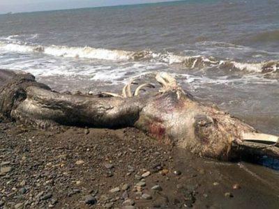 Misteriosa creatura marina gigante spiaggiata in Russia