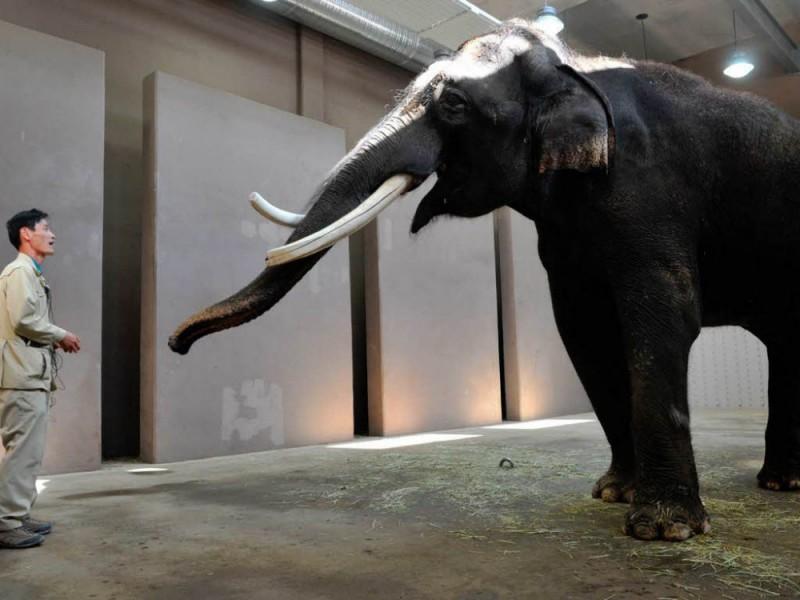 koshik elefante