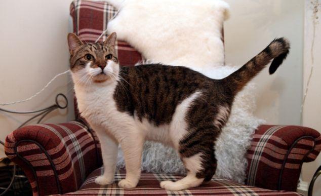 Wensleydale gatto ballerino