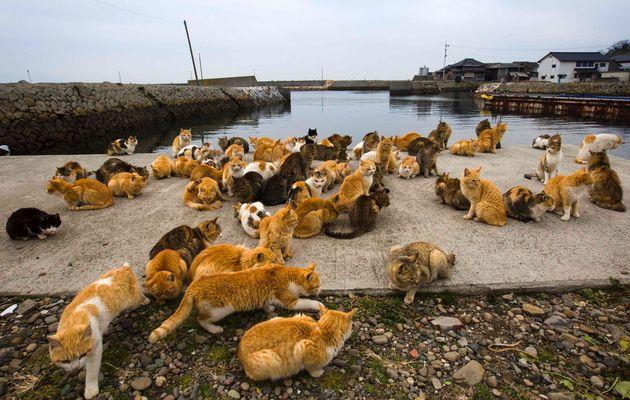 aoshima-isola-gatti-giappone