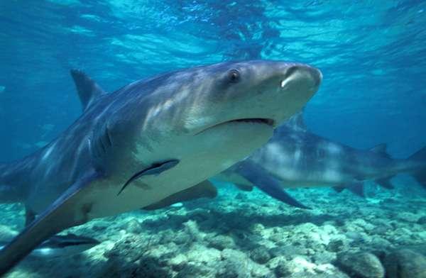 attacco squalo