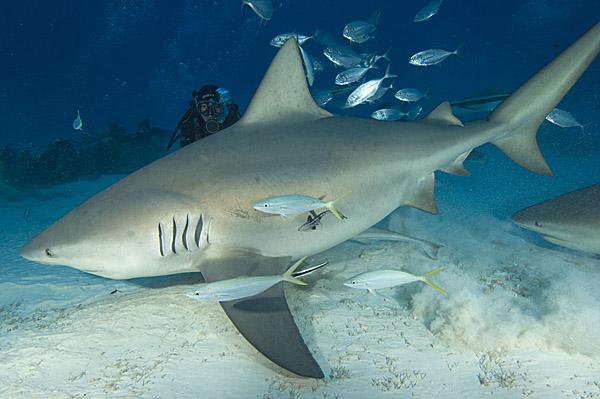 squalo leuca