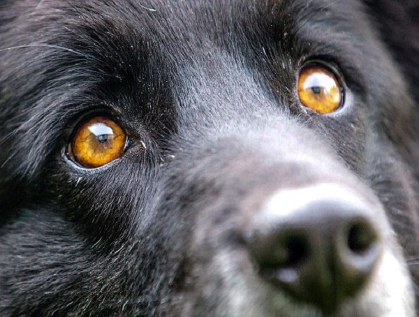 bagheera-cane-occhi-arancioni