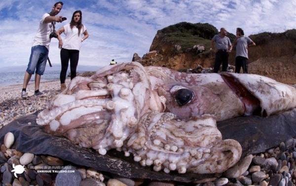 calamaro gigante california fake fukushima