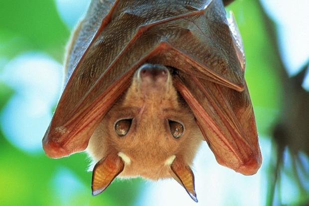 ebola-virus-pipistrelli