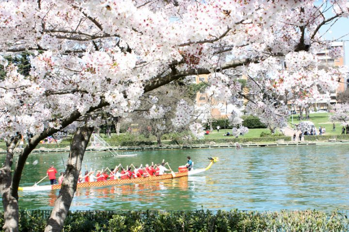 hanami-roma-lago-eur-fioritura-ciliegi-sakura