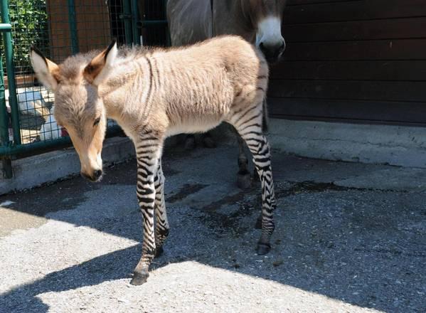 zoonky incrocio zebra asino