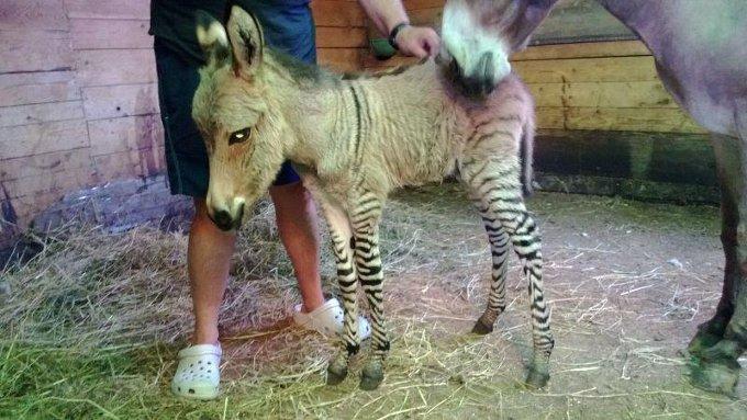 ippo incrocio asina zebra
