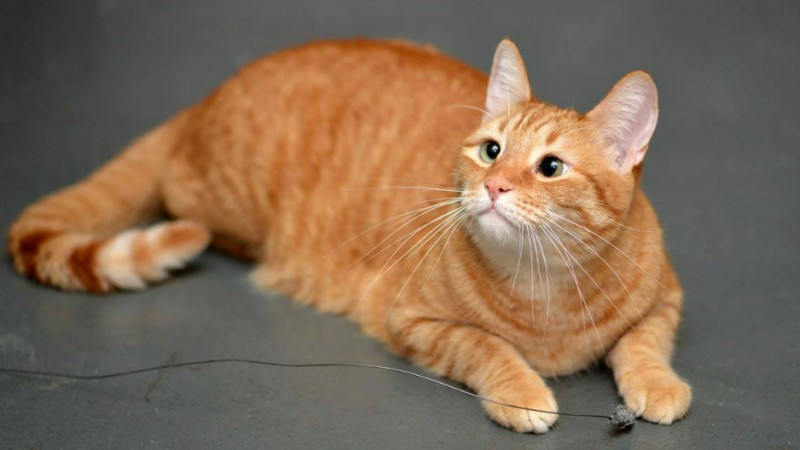 jarvis gattino strabico
