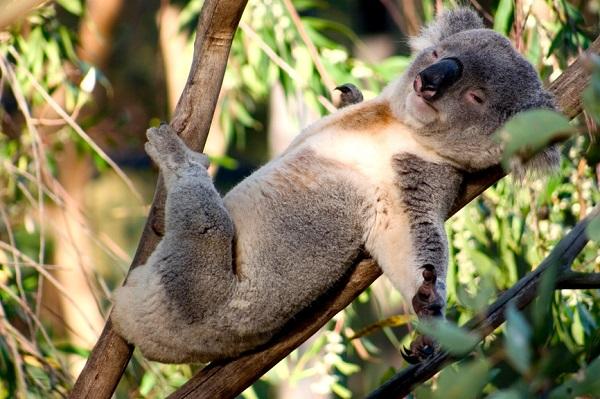koala abbracciano alberi