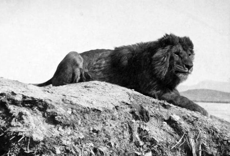 leone-di-atlante