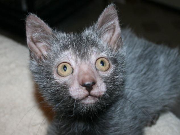 lykoi razza gatto lupo mannaro cane