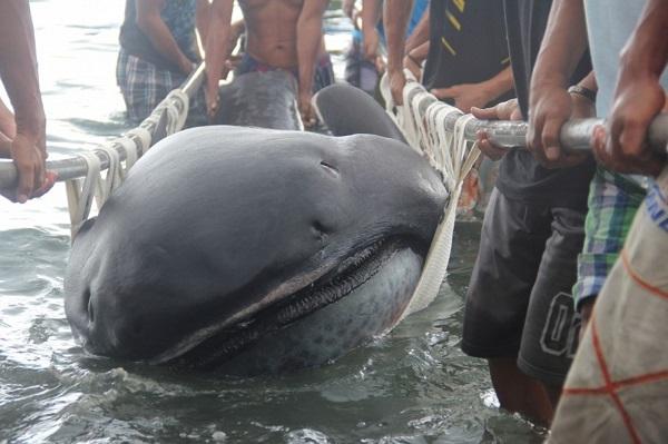 megamouth-squalo-bocca-grande