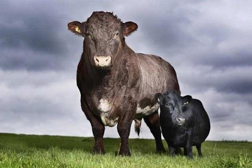 mucca rara