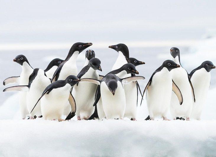 pinguini_di_adelia