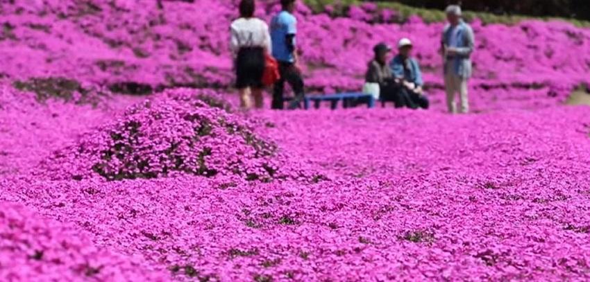 shibazakura fiori giappone