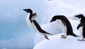 """Pinguini """"depravati"""" a rischio estinzione"""