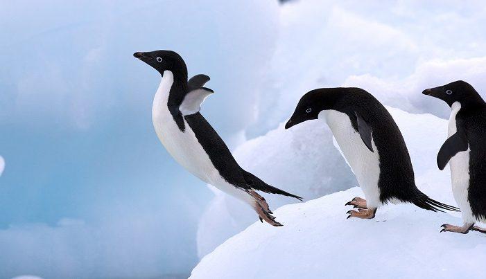 Favori Il 25 aprile è la Giornata mondiale dei Pinguini: adotta un  SD84