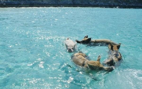 Pig beach alle bahamas c 39 l 39 isola dei maiali felici for Si puo fare il bagno con la febbre