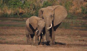 """Stop dalla Cina al commercio legale di avorio. WWF: """"Una data storica"""""""