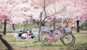 Hanami, a Roma si passeggia sotto i ciliegi giapponesi