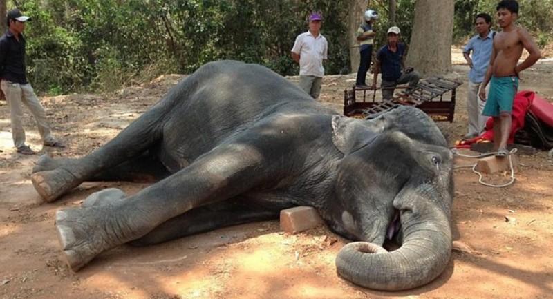elefante sambo
