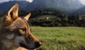 E' ufficiale: il lupo italiano è una sottospecie unica al mondo