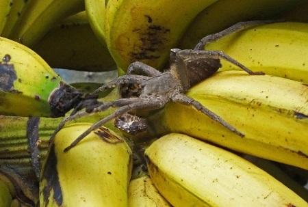 Phoneutria nigriventer ragno banane