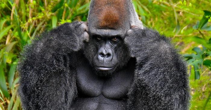 bracconaggio gorilla 2