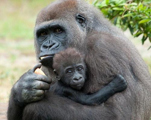 bracconaggio gorilla 3