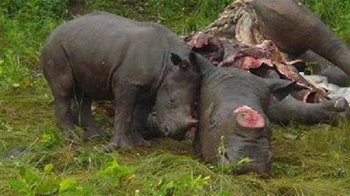 Bracconaggio-rinoceronti