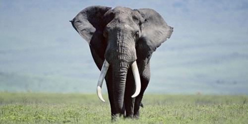 avorio elefante