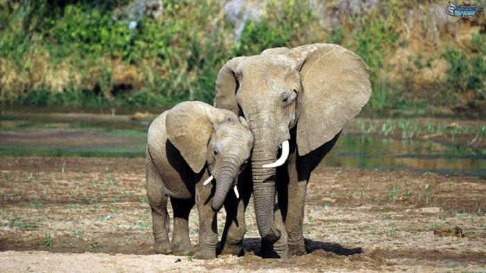 avorio elefanti