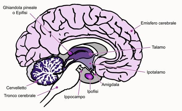 cervello sezione