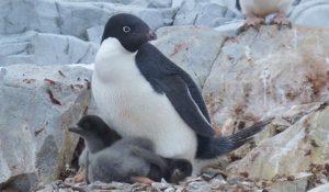 Catastrofe pinguini in Antartide: nati solo 2 cuccioli su 18.000 coppie