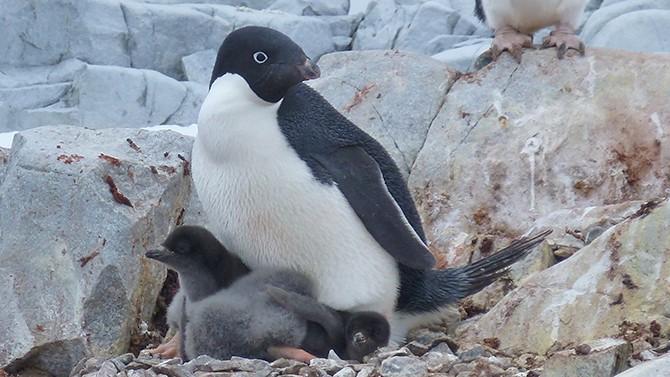 Favori Catastrofe pinguini in Antartide: nati solo 2 cuccioli su 18000 coppie SD84