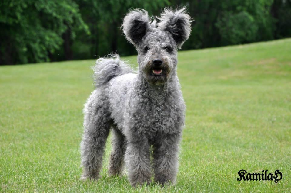 Dogs With Bear Ears