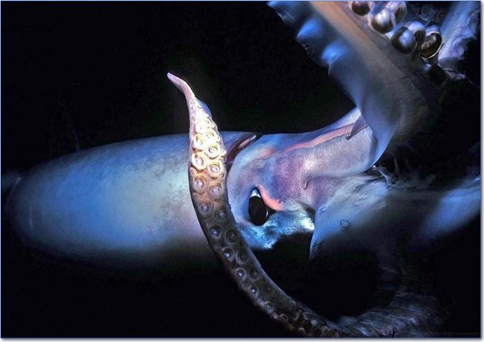 calamari giganti