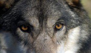 """Orrore in Toscana, lupo ucciso e scuoiato. Insorgono le associazioni: """"Atto criminale e di estrema crudeltà"""""""