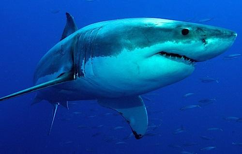 squali nel mediterraneo