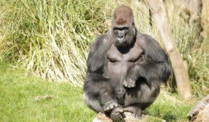 Gorilla in fuga scappa dalla sua recinsione. Panico allo zoo di Londra