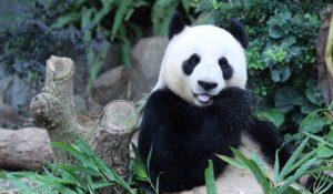 Il Panda gigante è salvo: non è più una specie in via d'estinzione