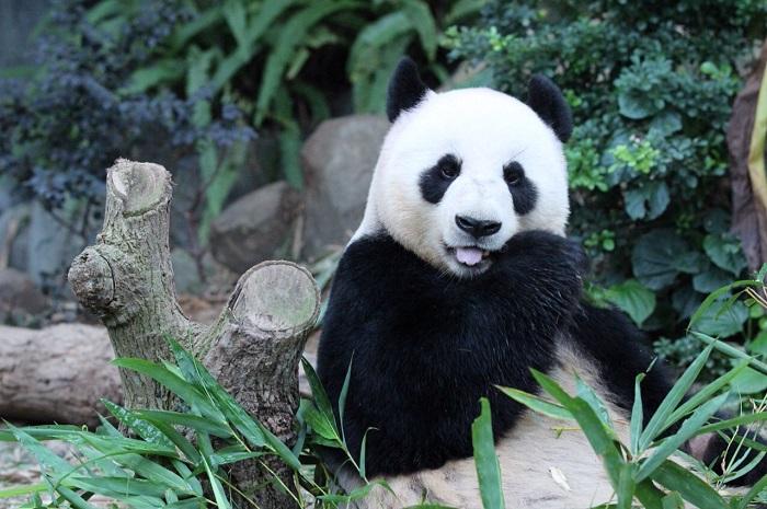 jia jia panda gigante