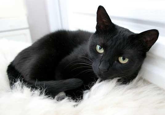 bellissimo-gatto-nero