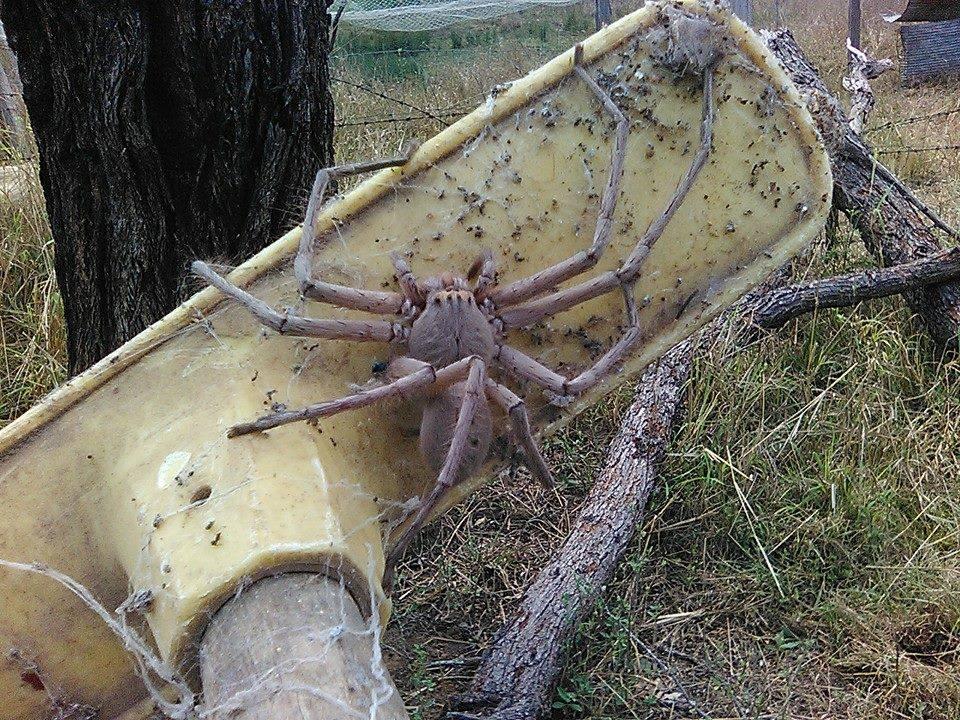 charlotte-ragno-gigante-australia