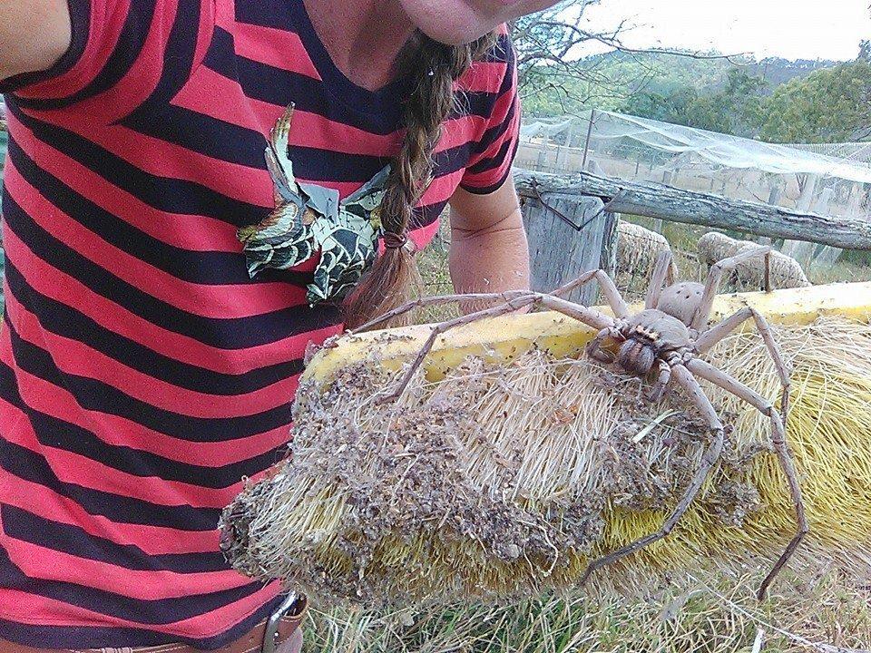 charlotte ragno gigante