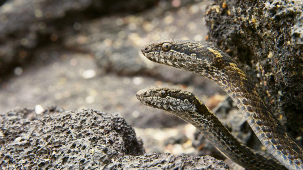iguana vs serpenti