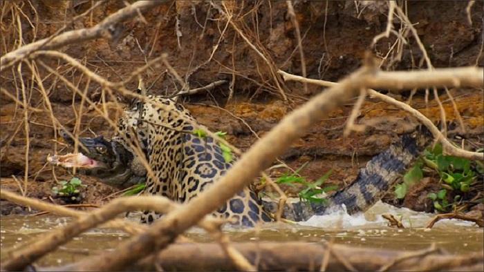 giaguaro uccide un caimano